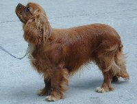 cavalier king charles spaniel puppy feeding guide